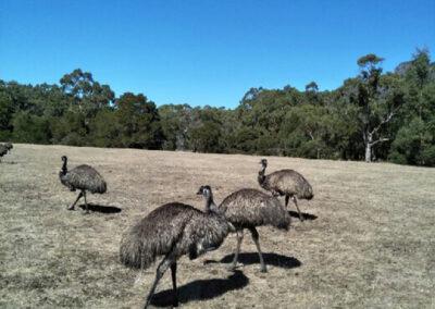 Grampians Attractions - Emus
