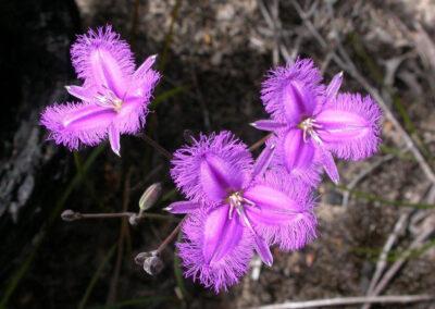 Grampians Wild Flowers - Common Fringe Lilly